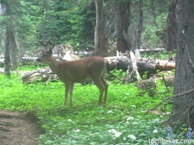 Deer in Granite Creek Camp
